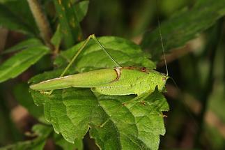 Phaneroptera falcata - Gemeine Sichelschrecke, Männchen