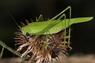 Phaneroptera falcata - Gemeine Sichelschrecke, Weibchen