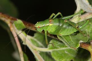 Barbistes serricauda - Laubholz-Säbelschrecke, Weibchen