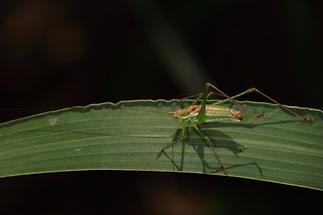 Leptophyes albovittata - Gestreifte Zartschrecke, Männchen