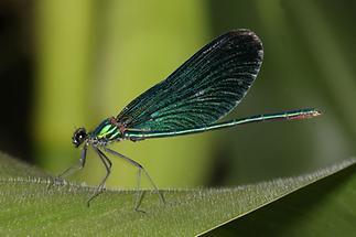 Calopteryx virgo - Blauflügel-Prachtlibelle, Männchen
