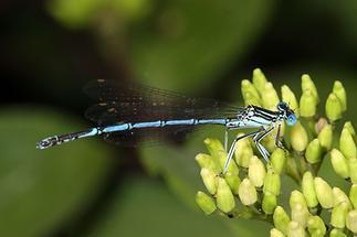 Platycnemis pennipes - Gemeine Federlibelle, Männchen