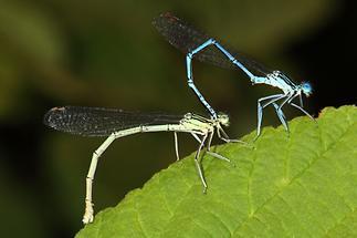 Platycnemis pennipes - Gemeine Federlibelle, Paar