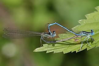 Platychnemis pennipes - Gemeine Federlibelle, Paarungsrad