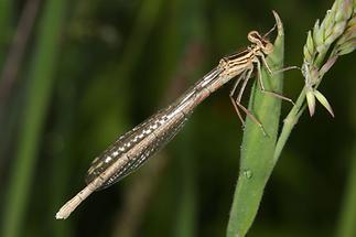 Platycnemis pennipes - Gemeine Federlibelle, junges Weibchen