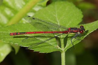 Pyrrhosoma nymphula - Frühe Adonislibelle, Männchen