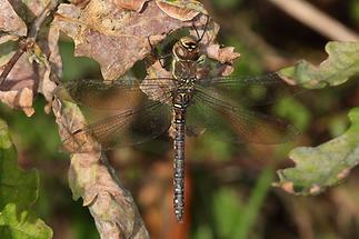 Aeshna mixta - Herbst-Mosaikjungfer, Weibchen