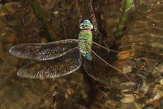 Anax imperator - Große Königslibelle, Weibchen bei der Eiablage