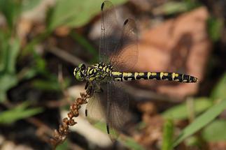 Onychogomphus forticipatus - Kleine Zangenlibelle, Weibchen
