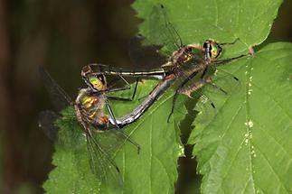Cordulia aenea - Gemeine Smaragdlibelle, Paarungsrad