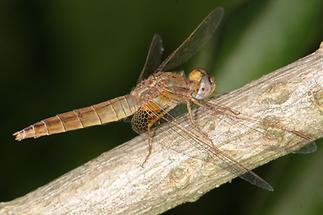 Crocothemis erythrea - Feuerlibelle, Weibchen (1)