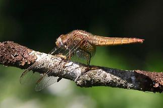 Crocothemis erythrea - Feuerlibelle, Weibchen (2)