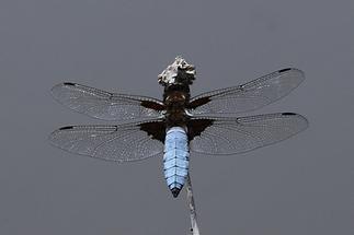 Libellula depressa - Plattbauch, Männchen