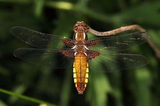 Libellula depressa - Plattbauch, Weibchen (1)