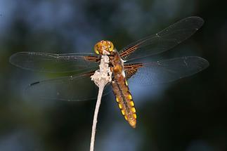 Libellula depressa - Plattbauch, Weibchen Unterseite