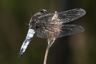 Libellula fulva - Spitzenfleck, Männchen