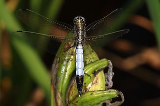 Orthetrum albistylum - Östlicher Blaupfeil, Männchen (1)