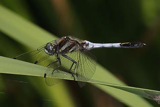Orthetrum albistylum - Östlicher Blaupfeil, Männchen (2)
