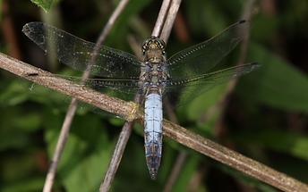 Orthetrum cancellatum - Großer Blaupfeil, Männchen (1)