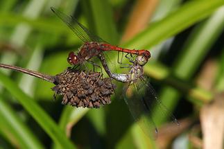 Sympetrum sanguineum - Blutrote Heidelibelle, Paarungsrad (1)