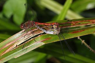 Sympetrum sanguineum - Blutrote Heidelibelle, Paarungsrad (2)