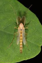 Chironomus sp. cf. plumosus - kein dt. Name bekannt, Männchen (2)