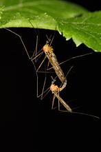 Limonia nigropunctata - kein dt. Name bekannt, Paar