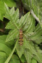 Metalimnobia quadrimaculata - kein dt. Name bekannt