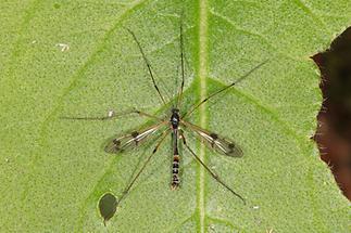 Ptychoptera contaminata - Gefleckte Faltenmücke