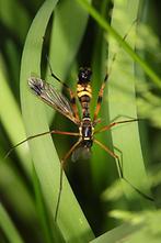 Cteniphora festiva - kein dt. Name bekannt, Männchen (2)