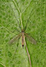 Nephrotoma flavescens - Gelbbindige Schnake, Weibchen
