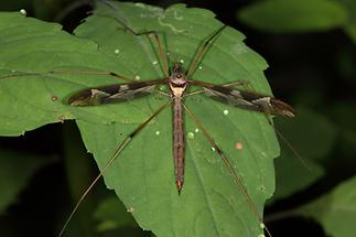 Tipula maxima - Riesenschnake, Weibchen