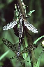 Tipula oleracea - Kohlschnake, Paar