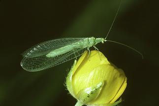 Chrysoperla carnea - Gemeine Florfliege