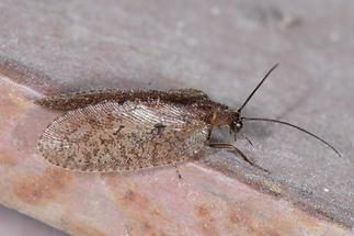 Hemerobius sp. - Taghaft (2)