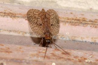 Hemerobius sp. - Taghaft (3)