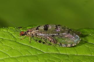 Osmylus fulvicephalus - Bachhaft (1)