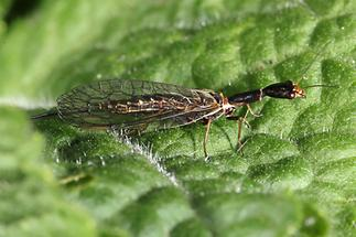 Raphida sp. - Kamelhalsfliege, Weibchen (1)