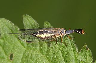 Raphida sp. - Kamelhalsfliege, Weibchen (2)