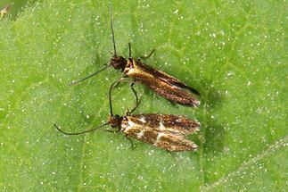 Micropterix aruncella - kein dt. Name bekannt, Männchen+Weibchen