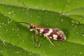 Micropterix schaefferi - kein dt. Name bekannt, Falter (1)