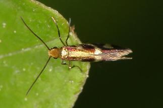 Micropterix schaefferi - kein dt. Name bekannt, Falter (2)