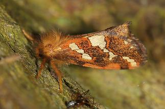 Phymatopus hecta - Heidekraut-Wurzelbohrer, Falter