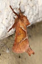 Triodia sylvina - Ampfer-Wurzelbohrer, Falter (1)
