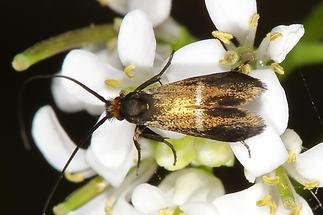 Cauchas rufimitrella - Rotsilberne Langhornmotte
