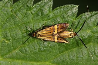 Nemophora degeerella - kein dt. Name bekannt, Paar (2)