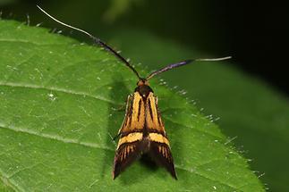 Nemophora degeerella - kein dt. Name bekannt, Weibchen (1)