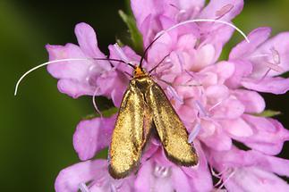 Nemophora metallica - kein dt. Name bekannt, Weibchen (1)