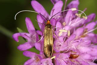 Nemophora metallica - kein dt. Name bekannt, Weibchen (2)