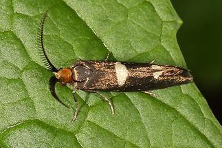 Incurvaria mascuella - kein dt. Name bekannt, Männchen (2)